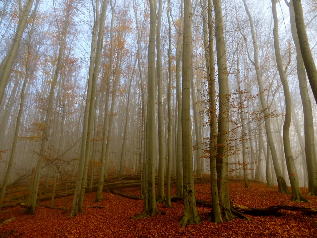 Peace found in the Beech Forest
